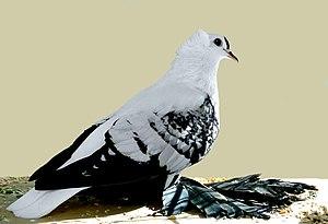 Bohemian Fairy Swallow pigeon - Bohemian Fairy Swallow