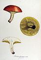 Boletus granulatus — Flora Batava — Volume v14.jpg