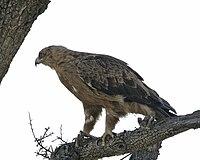Booted Eagle1