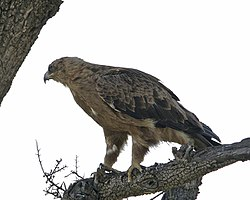 Booted Eagle1.jpg