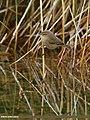 Booted Warbler (Iduna caligata) (25421713480).jpg