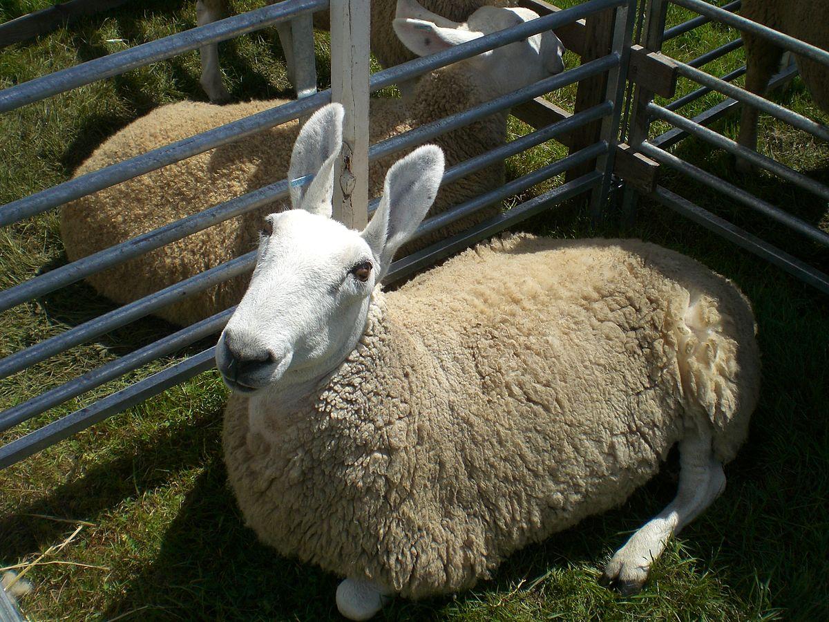 border leicester sheep wikipedia