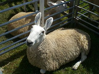 Border Leicester breed of sheep originating in England