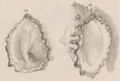 Born1780 pl6 figs11-12 Saccostrea cucullata.png