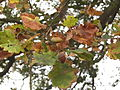 Boscobel - Diamond Jubilee Oak acorns.jpg