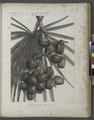 Botanique. Palmier Doum (Cucifera thebaïca). Détails de la feuille et de la grappe (NYPL b14212718-1268634).tiff