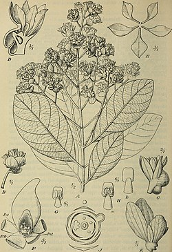 Botanische Jahrbücher für Systematik, Pflanzengeschichte und Pflanzengeographie (1912) (14740969256).jpg