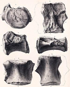 Bothriospondylus - Illustration of the vertebrae
