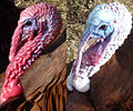 Bourbon Red Turkey Head Coloration, contrast red and white.jpg
