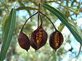 Brachychiton rupestris fruits.jpg