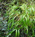 Brachypodium sylvaticum hivern.jpg
