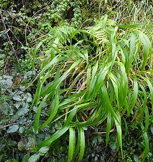 <i>Brachypodium sylvaticum</i> species of plant, false brome