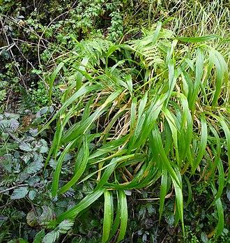 Brachypodium sylvaticum - Image: Brachypodium sylvaticum hivern
