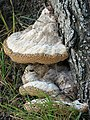 Bracket Fungi - geograph.org.uk - 564217.jpg