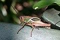 Brazilian grasshopper.jpg