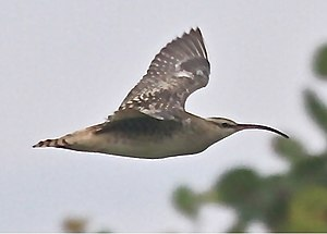 Bristle-thighed curlew - Kahuku area - O'ahu, Hawaii
