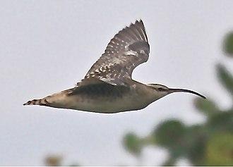 Bristle-thighed curlew - Kahuku area - O'ahu, Hawaii