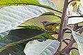Broad-billed Warbler Senchal WLS West Bengal.jpg