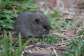 Description de l'image Broad toothed mouse 1.JPG.