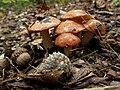 Brown Mushrooms, Claytor Lake State Park (7395565838) (2).jpg