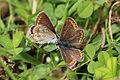 Brown argus butterflies (aricia agestis) 3 of 5.jpg