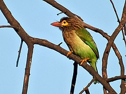 Brown headed Barbet I2 IMG 8449.jpg