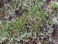 Bryum argenteum 109636223.jpg