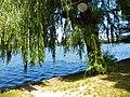 Bucuresti, Romania. PARCUL HERASTRAU. Acum Parcul Regele Mihai I. Salcie pe malul lacului Herastrau. (B-II-a-A-18802).jpg