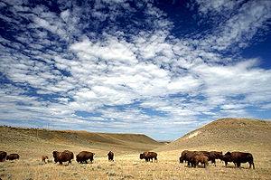 Buffalo grazing on rangeland in Crook County, ...