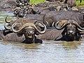 Buffaloes (Syncerus caffer) at waterhole (12751070434).jpg