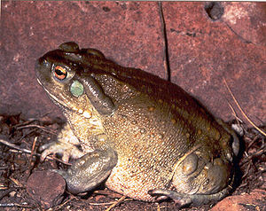 Colorado River toad