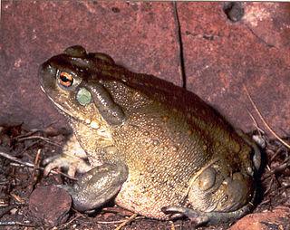 Colorado River toad species of amphibian