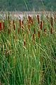 Bullrush (Typha orientalis) (9874533694).jpg