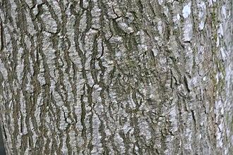 Bulnesia arborea - Image: Bulnesia arborea 10zz