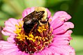 Bumble Bee on Zinnia.jpg