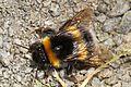 Bumblebee - Bombus species, Argaty, Doune, Perthshire, Scotland.jpg