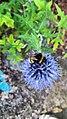 Bumblebee on blue flower.jpg