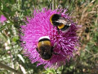 Bumblebee communication Type of communication between bumblebees