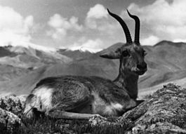 Bundesarchiv Bild 135-S-05-13-21, Tibetexpedition, Gazellenbock.jpg