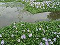 Bunga eceng Gondok, JL.Kedungsari, Kota Mojokerto.jpg