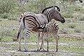Burchell's zebra (Equus quagga burchellii) suckling.jpg