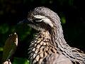 Burhinus grallarius Parc des Oiseaux 21 10 2015 1.jpg