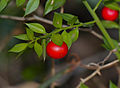 Butcher's Broom (Ruscus aculeatus) (15720526217).jpg