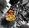 Butterfly (362954323).jpg