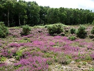 Buxton Heath - Image: Buxton Heath Nature Reserve geograph.org.uk 519147