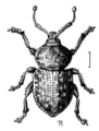 COLE Curculionidae Cecyropa.png