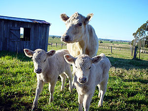 Murray Grey cattle - Murray grey cows