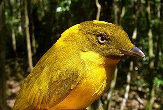 Golden bowerbird - Image: CSIRO Science Image 10960 Golden Bowerbird
