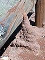 CSIRO ScienceImage 1413 Termite mound.jpg