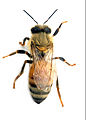CSIRO ScienceImage 2317 An Adult Female Worker Honey Bee.jpg